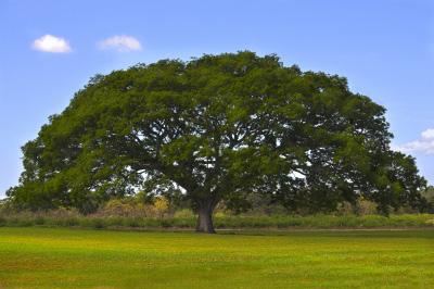 geobiologie vieil arbre